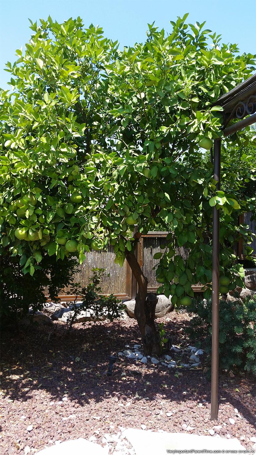 כנען וילאג' - עץ אשכוליות בחצר