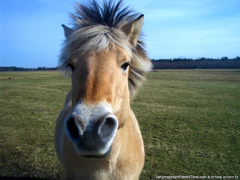 הולנד - טסל - סוסים בטבע
