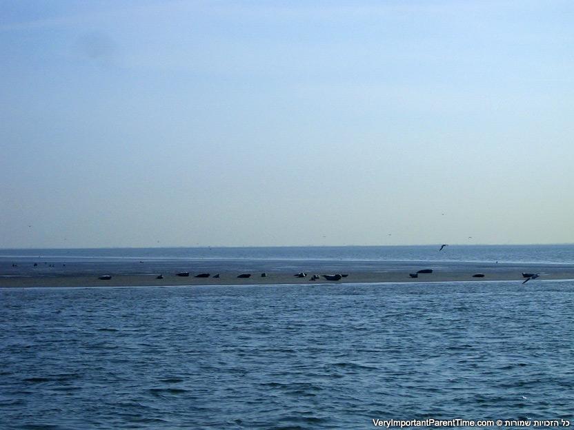 הולנד - טסל - כלבי ים על הדיונות